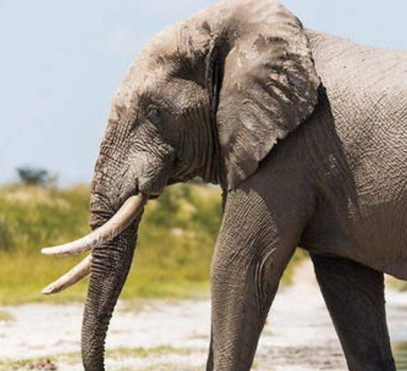 Elephant Epson Compatible